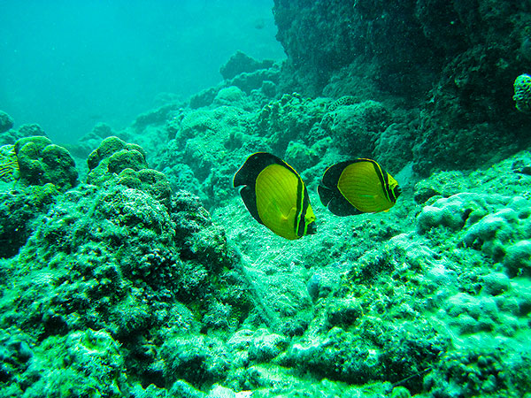 نام: پروانه-ماهی-طلا&#1.jpg نمایش: 639 اندازه: 165.8 کیلو بایت