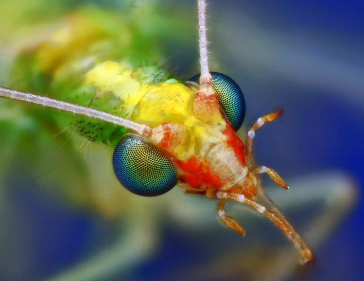 نام: Chrysopidae.jpg نمایش: 377 اندازه: 47.6 کیلو بایت