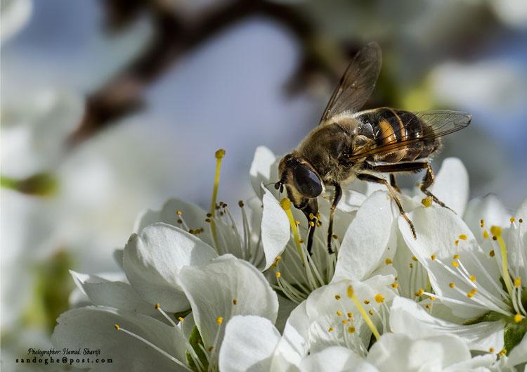 نام: Honey-bee-750.jpg نمایش: 368 اندازه: 66.4 کیلو بایت
