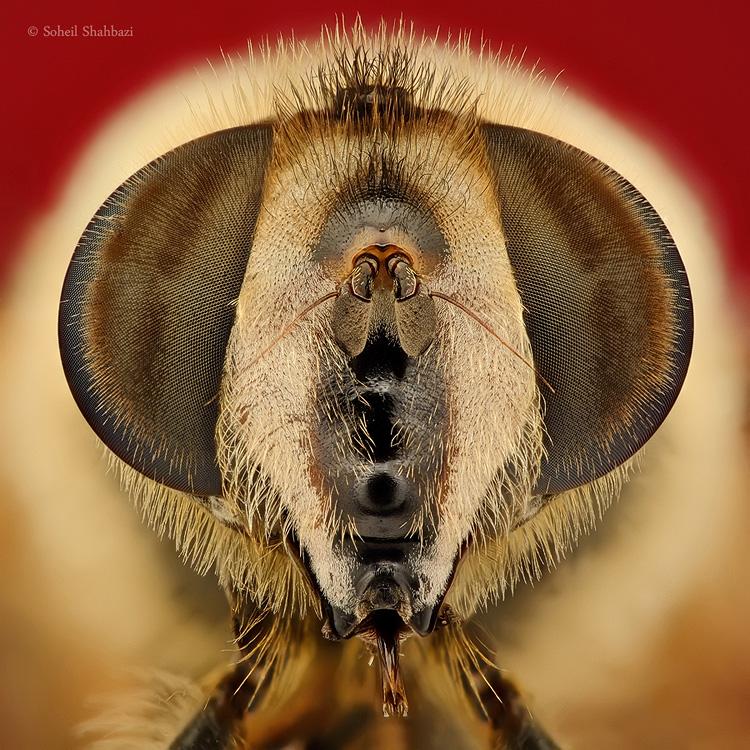 نام: Volucella zonaria2.jpg نمایش: 280 اندازه: 300.1 کیلو بایت