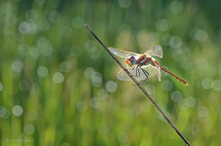 نام: Dragonfly1.jpg نمایش: 336 اندازه: 211.1 کیلو بایت