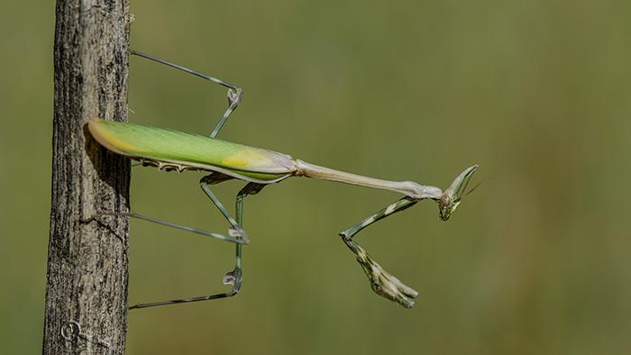 نام: mantis 2.jpg نمایش: 417 اندازه: 86.0 کیلو بایت