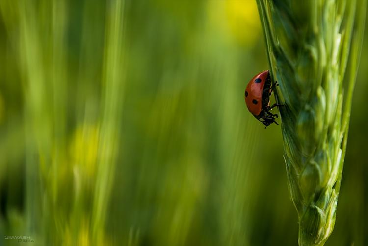 نام: ladybird.jpg نمایش: 489 اندازه: 70.0 کیلو بایت