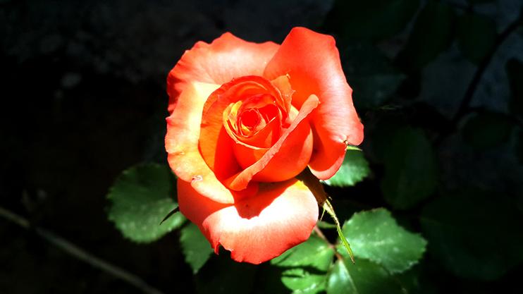 نام: flower.jpg نمایش: 307 اندازه: 208.7 کیلو بایت