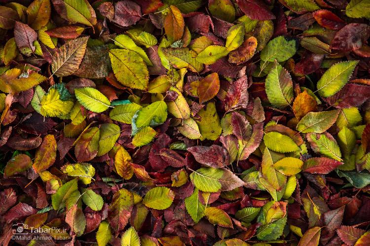 نام: Tabarpix.ir-Fall-Leaves2.jpg نمایش: 496 اندازه: 275.8 کیلو بایت
