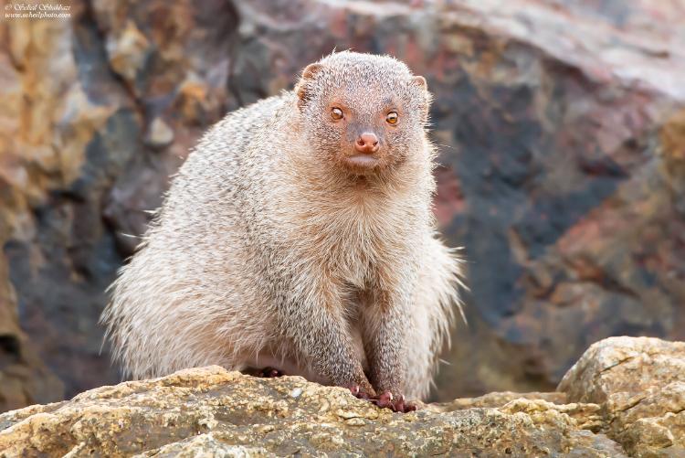 نام: Mongoose f.jpg نمایش: 136 اندازه: 287.4 کیلو بایت