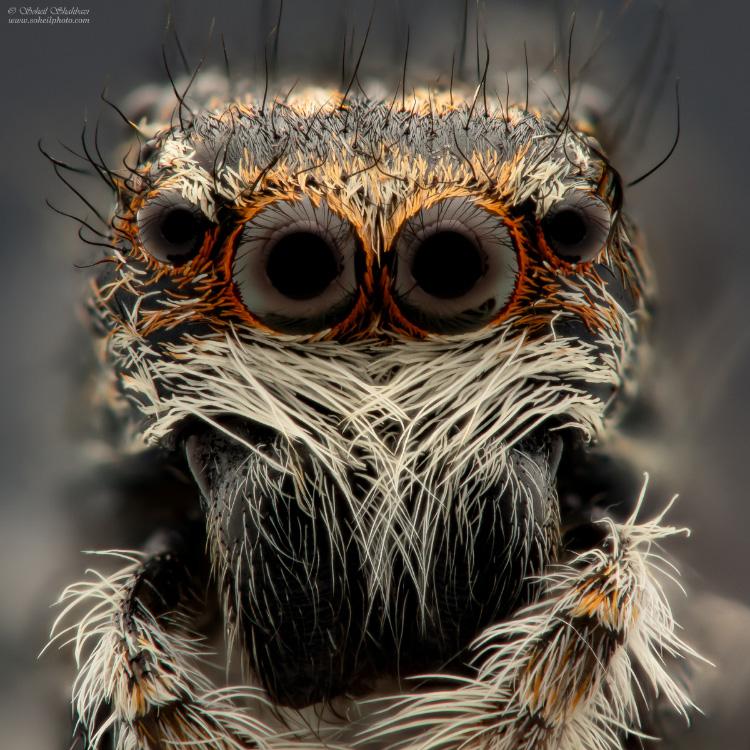 نام: Jumping-Spider 2.jpg نمایش: 441 اندازه: 306.3 کیلو بایت
