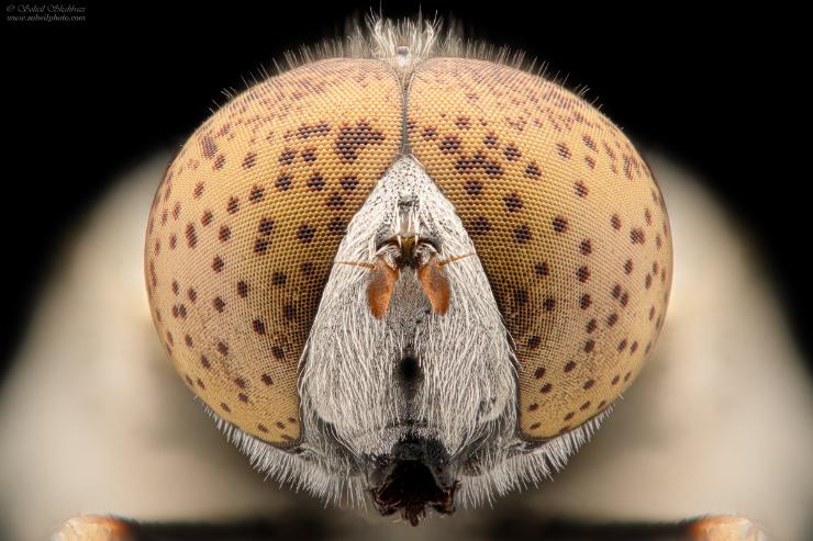 نام: Eristalinus-aeneus.jpg نمایش: 314 اندازه: 271.5 کیلو بایت